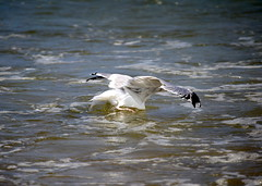 A seagull goes searching for food in the Atlantic Ocean off Manasquan Beach. (apardavila) Tags: atlanticocean bird jerseyshore manasquan manasquanbeach seagull