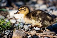 Stockente (Anas platyrhynchos) (martinjutzi) Tags: stockente anasplatyrhynchos jungtier birds wildlife switzerland ente