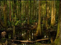 Swamp near Edisto (doddsjzi) Tags: swamp lowcountryswamp sclowcountry hardwood palmetto acebasin