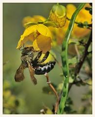 Carpenter Bee and Cassia (gauchocat) Tags: tohonochulpark tucsonarizona