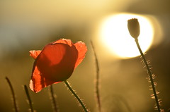 Goodbye summer (James_D_Images) Tags: california poppy flower summer sunset bokeh bud backlit