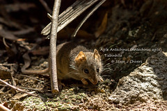 Not a mouse! Agile Antechinus (Antechinus agilis), Tidbinbilla, ACT. (Steve J Chivers) Tags: antechinusagilis antechinus agileantechinus tidbinbilla canon400mmf56 550d canon 400mmf56 dasyurid dasyuridae