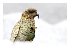 Kea (lawm1) Tags: kea alpineparrot bird avian cheeky wildlife animalplanet animal arthurspass nationalpark nature native canon photography marklaw lawm1 diamond