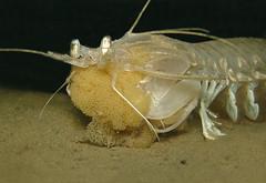 Squilla mantis (Centro Sub Monte Conero) Tags: mantis mar mediterraneo mare centro muck conero numana nord sabbia adriatico squilla ancona pannocchia sirolo cicala benthos canocchia crostaceo nocchia