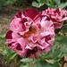 "Les roses au jardin de l'Abbaye de Valsaintes • <a style=""font-size:0.8em;"" href=""http://www.flickr.com/photos/90528120@N02/8390270296/"" target=""_blank"">View on Flickr</a>"
