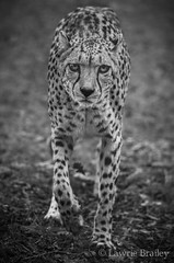 The Approach (LawrieBrailey) Tags: white black female silver photography nikon african wildlife 300mm photograph pro cheetah marwell stalking afs f40 lawrie d90 juba efex brailey