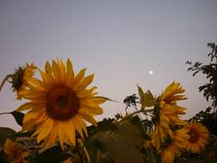 Sunflowers and the moon (ThalitaMorais) Tags: sunset moon flower nature night natureza flor sunflower lua entardecer girassol