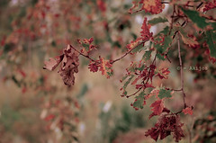 DSC_8815 - Version 2 (1 of 2) (Akijos) Tags: foglie bokeh inverno autunno d7000 tamron70300vc