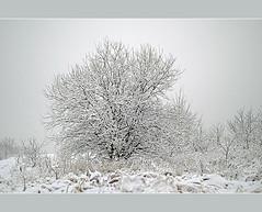 Tree (aka malec) Tags: trees winter sky white mountain snow cold tree ice grass fog clouds forest petals frost loneliness sam box joy poland polska dry petal willow same zima spruce nieg ld mrz trawa drzewo chmury niebo sucha rado biay samotno wierk zimno patki patek
