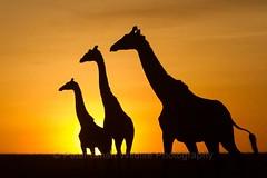 A00_0600_Giraffe_Sunrise_ky13a-2161 (Peter Smart, Wildlife Photographer & Tour Leader) Tags: kenya bigcats masaimara petersmart