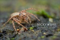 Lynx Spider (Hamataliwa sp.) - DSC_6349 (nickybay) Tags: macro spider malaysia lynx johor oxyopidae endaurompinnationalpark hamataliwa