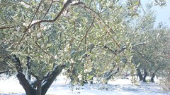 MORE SNOW (Chandra Siri) Tags: trees winter sun snow tree green weather walking greenisbeautiful walk olivetrees thewoods wintersun greengreengreen thisisnow walkinginbeauty