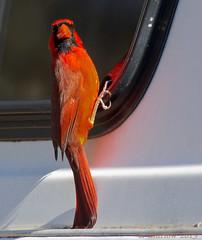Feather in Beak (caroltlw (on hiatus)) Tags: reflection male birds canon cardinal florida wildlife 400 7d redbird northerncardinal 14x eos7d