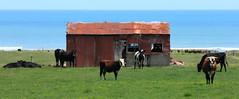 Red Green and Blue (Tones Corner) Tags: countryside cattle rustic westcoast oldshed nzscene rusticbuilding nzrural