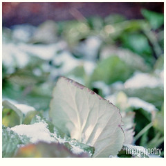 011 (imagepoetry) Tags: winter snow green film nature analog canon garden leaf purple bokeh fujifilm canonef imagepoetry planat