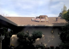 Deer. On our roof. (scottboms) Tags: uploaded:by=flickrmobile flickriosapp:filter=nofilter