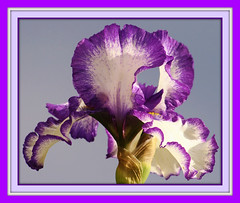 "Iris ""Carnival"" (bigbrowneyez) Tags: iris flower macro beautiful spectacular ruffles gorgeous special frame fancy lovely joyful trim mygarden delightful refined twotoned bellissimo miogiardino moltobello blinkagain flickrpurple iriscarnival"