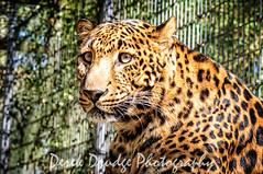 Odoki (Derek Drudge) Tags: ears leopard bigcats