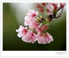 週末陽明山的沿途-淡水天元宮櫻花-001 (Ache_Hsieh) Tags: flower digital taiwan olympus sakura taipei 櫻花 danshui 天元宮 e500 淡水鎮 台北縣 zd 50200mm2835