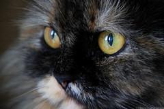 Zoe! <3 (fabsciack) Tags: eye cat eyes olhos gato olho