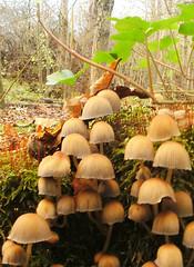 Coprinellus micaceus (elboo104) Tags: park uk wild nature mushroom woodland manchester fungi fungus toadstool