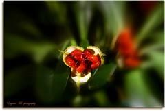 FUGA (eugeniobld... intermittente) Tags: verde canon natura rosso pitosforo flowerofthepassion fiorimeravigliosi eugeniobaldacci eugeniobld