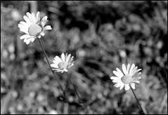 Canadian Rockies Wildflowers (greenthumb_38) Tags: canada reunion rockies canadian alberta 2012 canadianrockies jeffreybass august2012 moseankoreunion