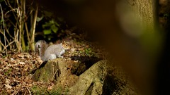 sneaking up in a Squirrel ([Magill]) Tags: life tree green animal squirrel candid trew mamel
