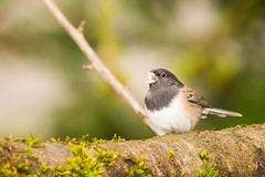 Oregon Dark-eye Junco (Junco hyemalis) (absencesix) Tags: trees plants home nature birds animals march washington backyard unitedstates feeding wildlife branches redmond northamerica betterbeamer locations iso1600 wildanimals songbirds 400mm flashfired 2013 oregondarkeyedjunco darkeyedjuncojuncohyemalis englishhill 400mmf28 geo:state=washington exif:iso_speed=1600 geo:city=redmond 1400secatf56 activityaction apertureprioritymode hascameratype haslenstype selfrating3stars redmondwashingtonunitedstates exif:focal_length=400mm camera:make=nikoncorporation exif:make=nikoncorporation geo:countrys=unitedstates exif:aperture=56 subjectdistanceunknown nikonsb910 nikond800e geo:lat=477206697 geo:lon=1221092737 474314n122633w exif:model=nikond800e camera:model=nikond800e hasflashtype exif:lens=4000mmf28 march12013 nikkor400mmf28gedafsvr sparrowsfamilyemberizidae nikonsb910betterbeamer