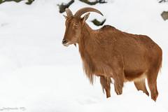 Mhnenspringer (Ammotragus lervia) (Mladen Janjetovic) Tags: schnbrunn vienna wien animals zoo austria sterreich wildlife tiergarten mladen 2013 at sigma120400 janjetovic eos550d mhnenspringerammotraguslervia