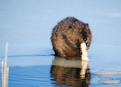 Lunchtime! (bobtravis) Tags: snow massachusetts concord muskrat greatmeadowsnwr sx40hs