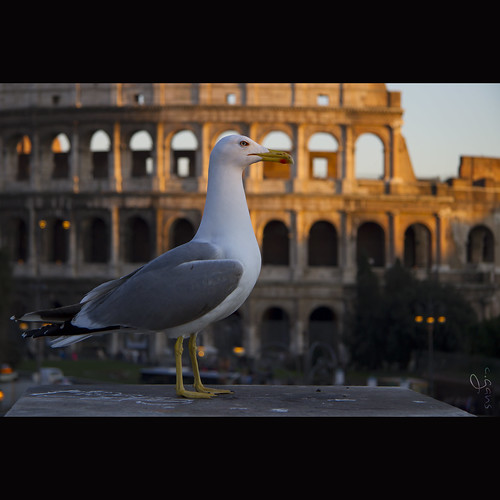 The Roman seagull