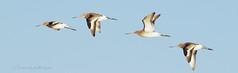 Flight of the Godwits! (bodhi nature) Tags: flight e600 bif birdinflight godwit zuiko70300mm