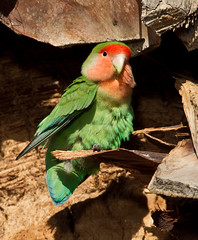 Rosy-faced Lovebird (Eric Gofreed) Tags: arizona phoenix parrot rosyfacedlovebird mericopacounty