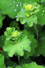 Frauenmantel_CIMG0600 BT (schaefer_rudolf) Tags: pflanze blte gelbbraun alchemilla frauenmantel rosaceae wildpflanze rosengewchs blhtenpflanze
