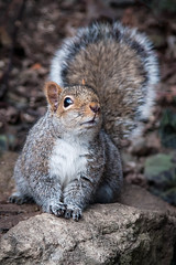Squirrel (Justin Lo Photography) Tags: life wild cute nature animal animals squirrels wildlife squirel