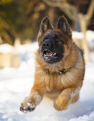 CL8A7490 (kdc123) Tags: winter snow teeth canine frisbee germanshepherd fetch gsd kristincastenschiold zeissvomteamguist