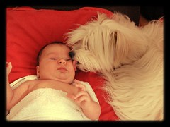 You taste like milk! ^__^ (moniketta) Tags: dog love milk child newborn midi latte amore cani alessio neonati cotondetulear affetto