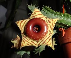 Huernia zebrina spp. insigniflora (Jardin Boricua) Tags: cactus huernia huerniazebrina huerniazebrinainsigniflora