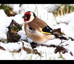 Goldfinch In The Snow (Ger Bosma) Tags: winter red brown white snow black detail bird colors yellow head song goldfinch feathers ground colourful setting a40 songbird putter foraging cardueliscarduelis distelfink stieglitz jilguero chardonneretlgant cardellino distelvink mygearandmegold mygearandmeplatinum mygearandmediamond rememberthatmomentlevel1 rememberthatmomentlevel2 rememberthatmomentlevel3 img78750a1 ccgcx