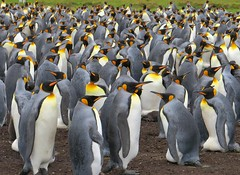 A Small Gathering of Friends (wbirt1) Tags: penguins falklands falklandislands kingpenguins volunteerpoint volunteerbeach billbirtwhistle