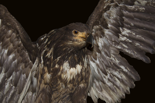 Aquila Reale - Golden Eagle