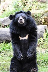 Hello - wanna a pose ? (Anjan05 (anjan_k_b@yahoo.com)) Tags: bear trees india green forest nikon darjeeling westbengal d90 northbengal northeastindia nikond90 darjeelingzoo ursusthibetanus asianblackbear gorkhaland pristinenature padmajanaiduhimalayanzoologicalpark anjan05