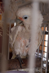 IMG_5336 (ReverieRevel) Tags: pet bird parrot boo cockatoo wetbird wetpet goffinscockatoo wetparrot