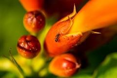 Ameise auf Trompetenblume (thunderbird-72) Tags: makro grn ant macro rot tamronspaf60mmf2diiimacro amerikanischeklettertrompete blten nikond7100 trompetenblume ameise orange blumen