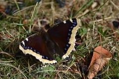 Nymphalis antiopa (hcorper) Tags: nymphalisantiopa sorgmantel mourningcloak butterfly insekt inmygarden open nikond3100 camberwellbeauty