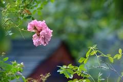 Un air d't (Lucien-Guy) Tags: fleur flower rose jardin garden t summer bokeh light dslr