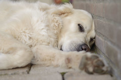 DSC_0122 (tweetyfilm73) Tags: goldenretriever outdoor nap relax dog animal pet mydog golden retriever
