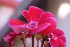 (shirmor) Tags: pink nature blossom summer catchy color