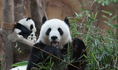 Happy 10th birthday Feng Yi and Fu Wa! 2016-08-23 (kuromimi64) Tags: zoonegara malaysia マレーシア 動物園 zoo nationalzoo zoonegaramalaysia kualalumpur クアラルンプール bear クマ 熊 panda giantpanda パンダ ジャイアントパンダ 熊猫 大熊猫 fengyi 鳳儀 liangliang fuwa 福娃 xingxing